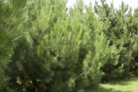 conifers: Pine in the wild. Planting relic conifers.
