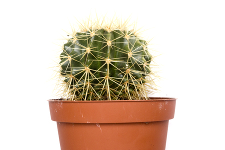peyote: Cactus, a plant adapted for cultivation in the home.