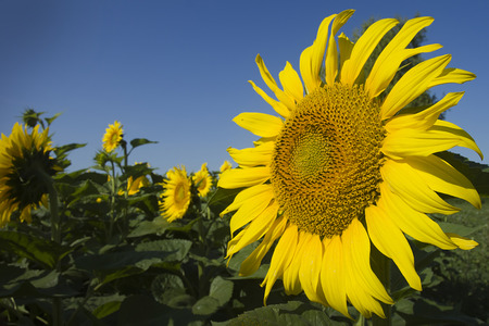 abloom: The inflorescence of sunflower crop is used for the production of vegetable oil.