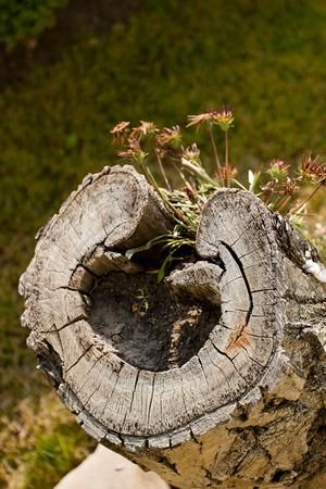 古い形で木の切り株をカットします。 写真素材