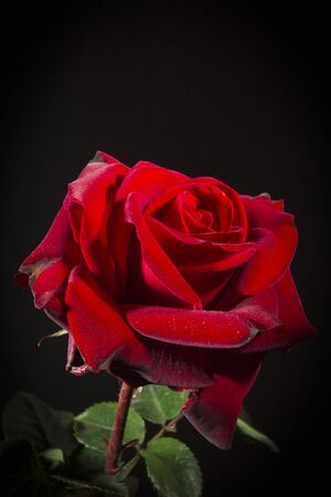 Red rose close-up on a black background