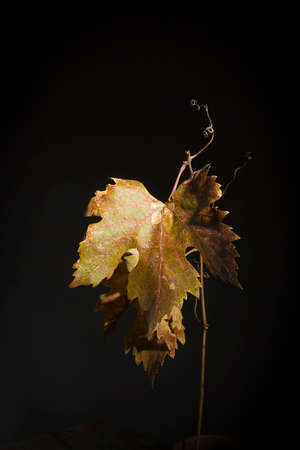Yellowed wilted grape leaves on black background 版權商用圖片