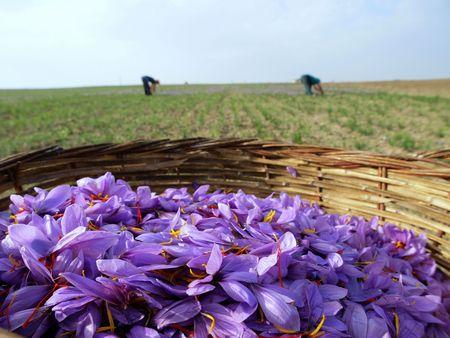 Saffron flowers in bloom Stock Photo