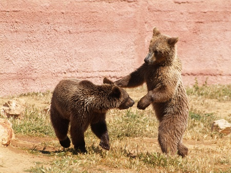 Young bears playing at the zoo photo