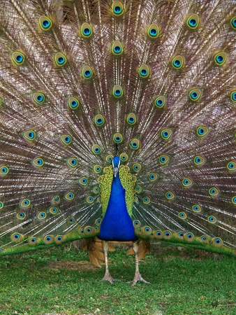 Male peacock with its colourful tail fully opened  photo