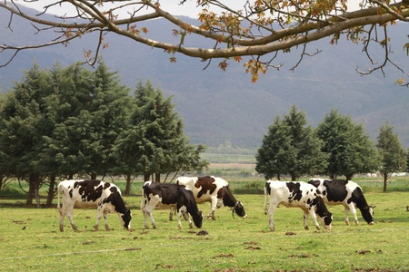 drove: A drove of cows eating grass