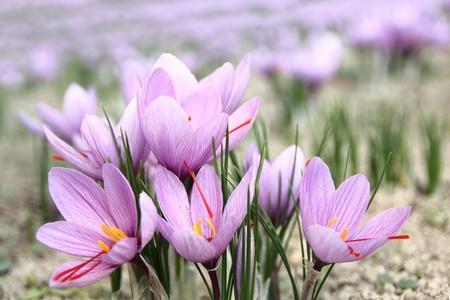 Saffron flowers on the field photo