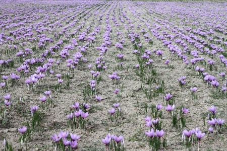 Saffron flowers on the field photo