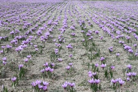 saffron: Saffron flowers on the field Stock Photo