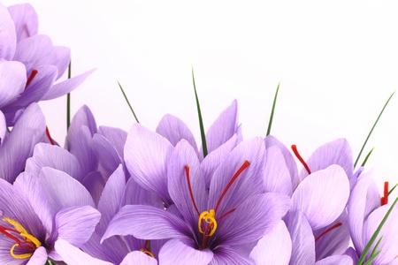 krokus: Paars Saffron Crocus bloemen banner
