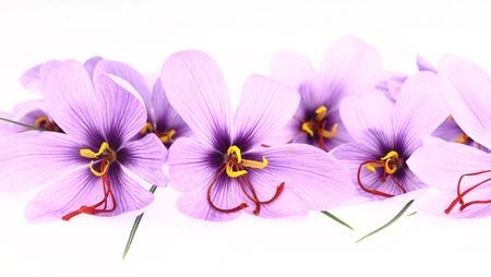 safran: Purple Saffron Crocus flowers banner Stock Photo