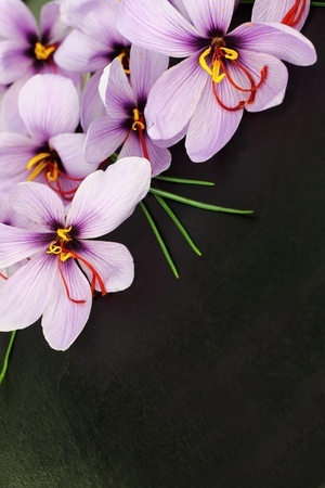 saffron: Beautiful purple Saffron Crocus flowers