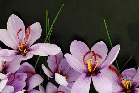 Beautiful purple Saffron Crocus flowers photo