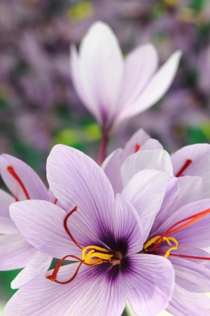 Beautiful purple Saffron Crocus flowers Stock Photo - 11196395