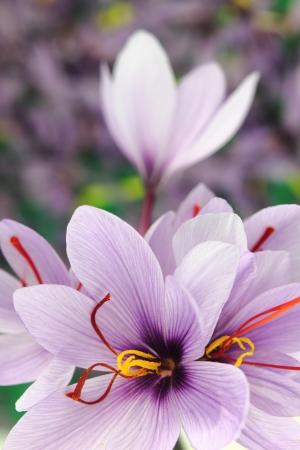 Schöne purpurrote Safran Crocus Blumen Standard-Bild - 11196395