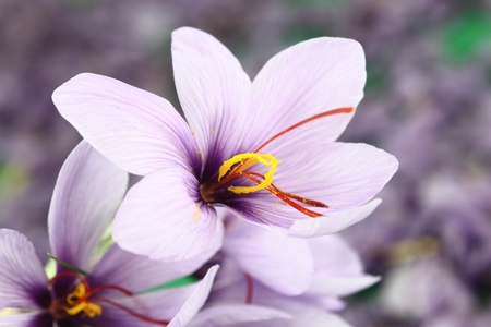Beautiful purple Saffron Crocus flowers photo