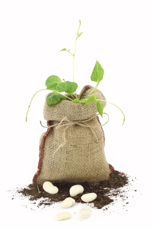 germinate:  Bean plant in a burlap sack