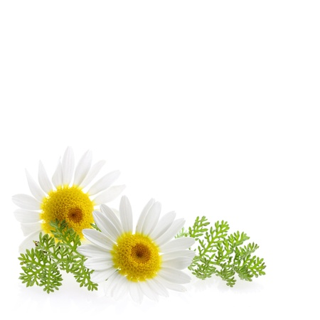 Daisy flower at the right corner and text free space at the picture  photo