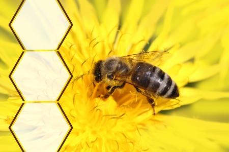 honey bees: Honeybee on yellow flower