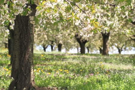 Cherry flower trees at spring photo