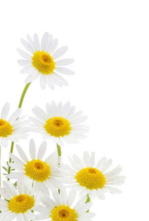 spring time: Daisies flower in white background