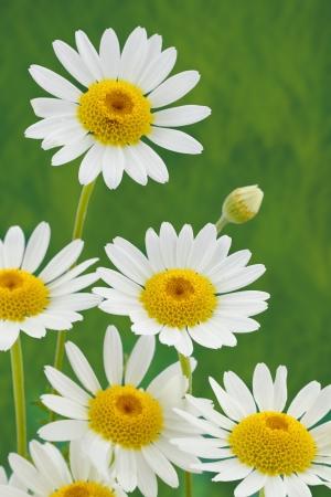 Spring daisy flower photo