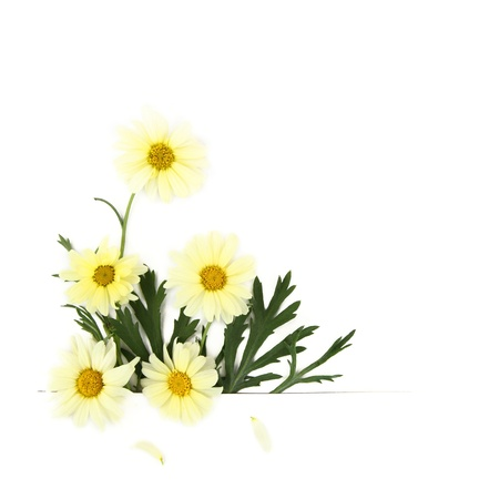 spring time: Daisy flowers on white background Stock Photo