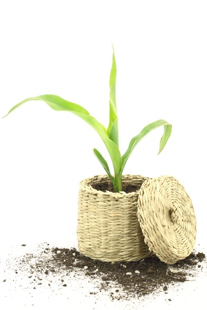 corn stalk:  New life. Corn plant growing in a basket