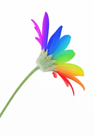 Rainbow flower isolated on white Stock Photo