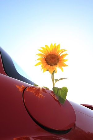 Sunflower come out of a vehicle photo