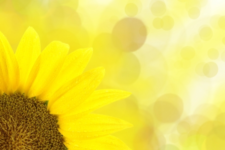 dew drop: Sunflower against yellow spotted background