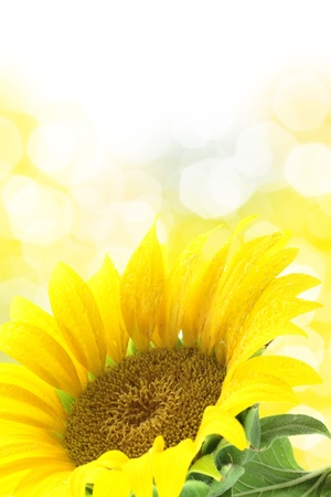 spotted flower: Sunflower against yellow spotted background