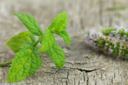 Fresh mint on wooden background photo