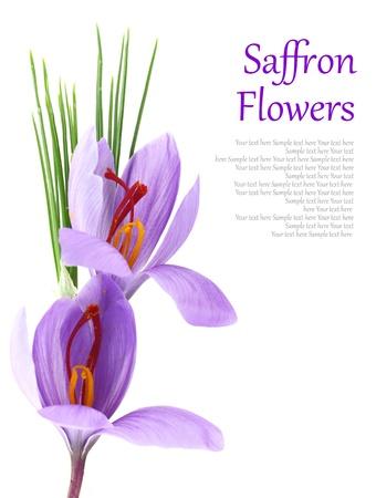 Close- up of saffron flowers