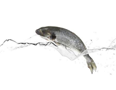 sea bass: Sea bass fish jumping from water