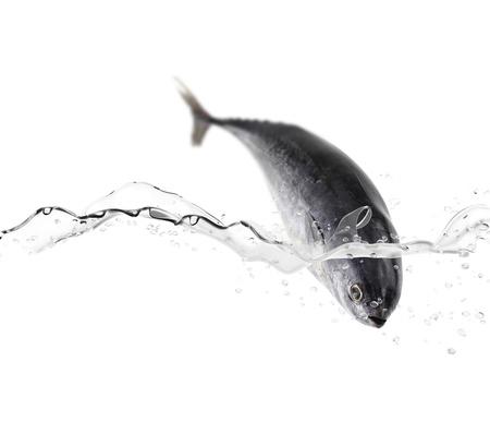 fisher: Tuna fish jumping in the water
