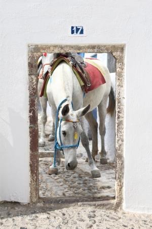 White mule in Santorini island, Greece Stock Photo - 20185704