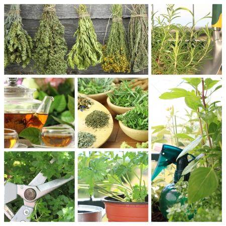 dried spice: Collage de hierbas frescas en el jard�n de balc�n