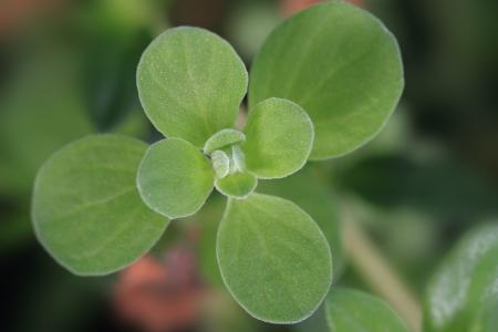 marjoram: Close up of fresh marjoram leaves