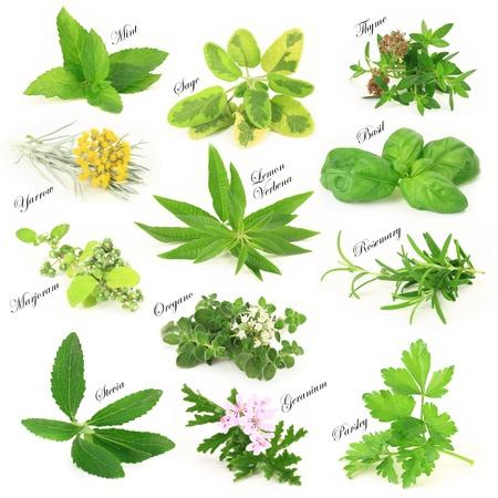herbs: Colección de hierbas aromáticas frescas