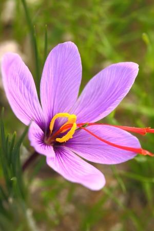 safran: Saffron flower on the field