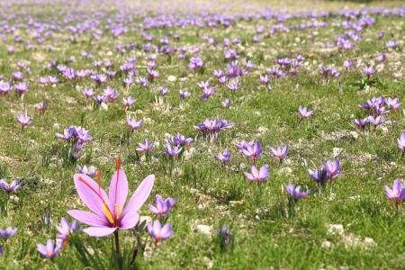 safran: Saffron flowers on the field Stock Photo