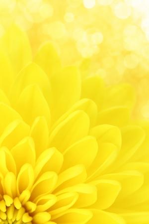 yellow: Yellow chrysanthemum petals macro shot