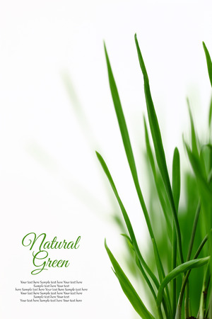 Few green blades of grass isolated on white photo