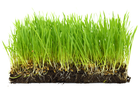 grass roots: Organic wheat sprouts with soil and roots isolated  Stock Photo