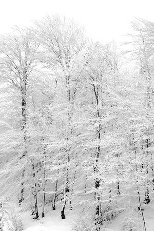 snow covered mountain: Forest with snow covered trees