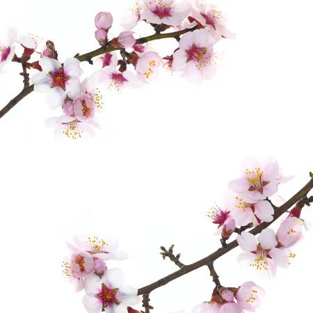 支店: アーモンドの枝の花の白い背景で隔離の花します。