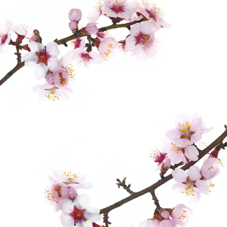 Branch with almond flowers blossoms isolated on white background Stock Photo