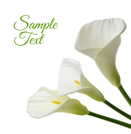 Beautiful white Calla lilies isolated on white background