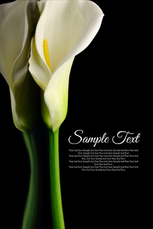 Beautiful white Calla lily with reflection on black background Stock Photo